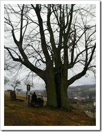 Klouzek a Destil v památném stromu